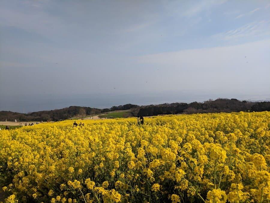 菜の花 あわじ花さじき 淡路島